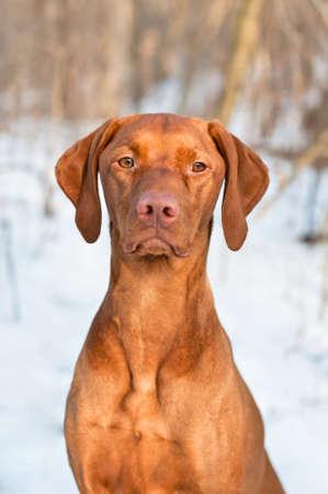 A close-up shot of a female Vizsla dog in a snowy field.