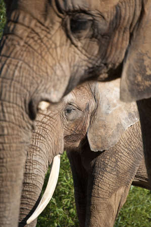 Two African elephants. The focus is on the smaller one in the background.