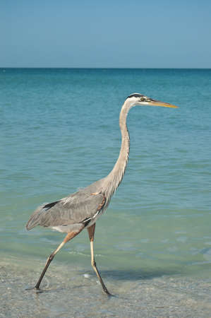A Great Blue Heron walking in the shallow waters of a Gulf Coast Florida beach. photo