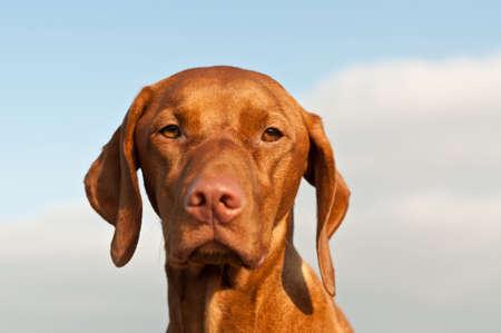 hungarian pointer: A closeup portrait of a Hungarian Vizsla dog