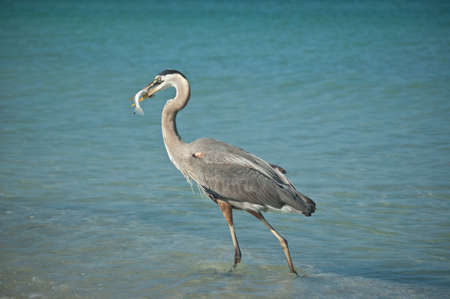 A Great Blue Heron with a fish in its mouth walking in the shallow waters of a Gulf Coast Florida beach. photo