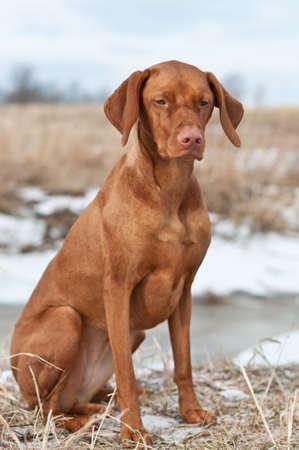 A portrait of a Vizsla dog sitting in a snowy field.
