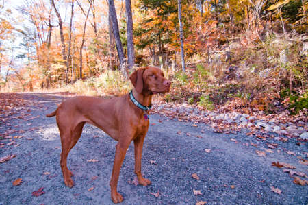 A Vizlsa dog stands on a gravel road in autumn. Stock Photo - 8153420