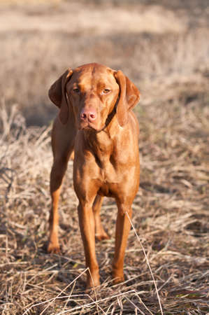 A Vizsla dog stands in a field on an autumn day.