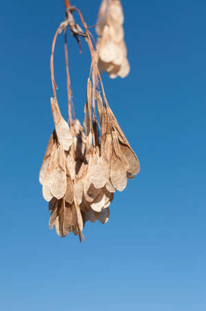 A bunch of brown maple keys or samaras hang from a twig in front of a deep blue sky in autumn.