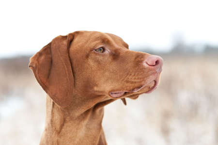 A closeup shot of a Vizsla dog in a field in winter. photo