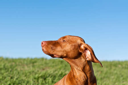 A profile shot of a sunlit Vizsla dog in a green field with a deep blue sky.. Stock Photo - 8216703