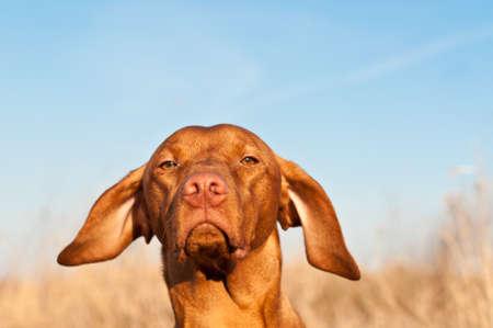 A closeup portrait of a Vizsla dog in a field in spring. Stock Photo - 8292122