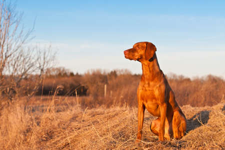 A portrait of a sitting Vizsla dog in a field the spring.