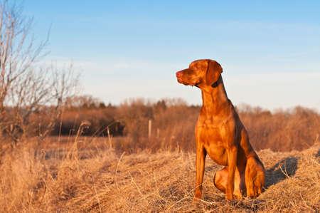 Un retrato de una sesión vizsla perro en un campo de la primavera. Foto de archivo