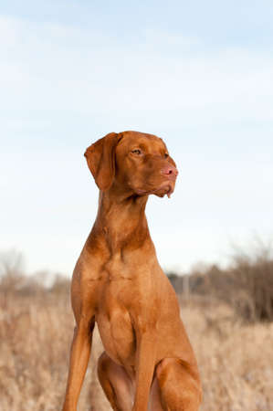 A portrait of a sitting Vizsla dog in the autumn. photo