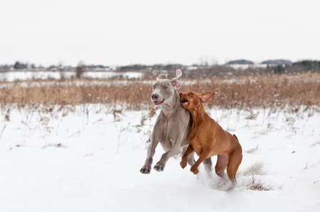 A Vizsla and a Weimaraner Dog play together in a snowy field in winter. photo