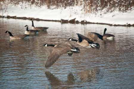 A pair of Canada Geese (Branta canadensis) fly low over the waters of a pond in winter.