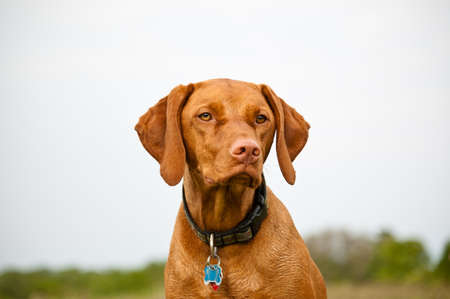hungarian pointer: A Visla dog (Hungarian pointer) in a field. Stock Photo