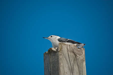 A White-breasted Nuthatch (Sitta carolinensis) stands on top of a wooden post with the blue sky in the background. Stock Photo