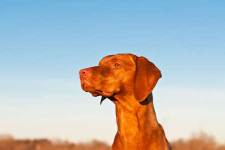 A portrait of a sitting Vizsla dog in a field the spring. Stock Photo - 8411995
