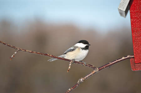 A Black-capped Chickadee (Poecile atricapillus) perches on a branch sticking out of a birdhouse. photo