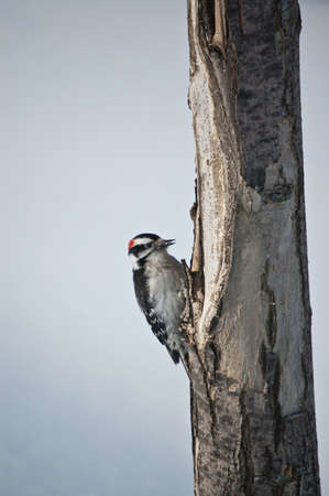 downy woodpecker: A downy woodpecker (Picoides pubescens) feeds on a dead tree trunk.