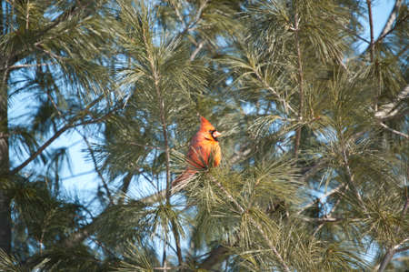 A male Northern Cardinal perches in the branches of an evergreen tree with blue sky in the background.