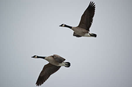 A pair of Canada Geese (Branta canadensis) fly through a grey sky.