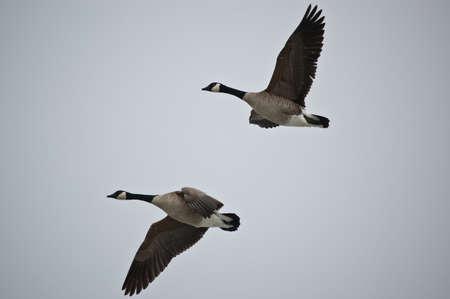A pair of Canada Geese (Branta canadensis) fly through a grey sky.