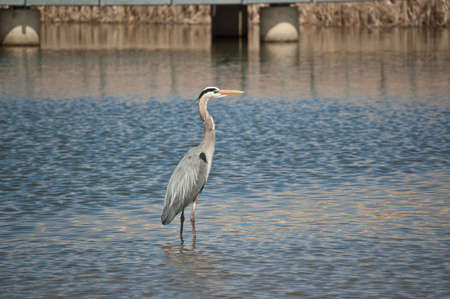 Great Blue Heron Wading in a Suburban Pond photo
