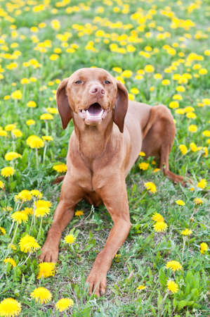 A Hungarian Vizsla dog lies down on some grass that is covered with yellow dandelions. Stock Photo
