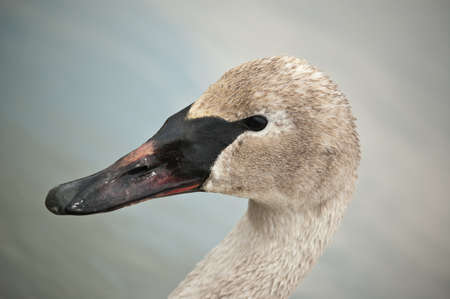 A closeup shot of a trumpeter swan that has been feeding in a muddy pond. Stock Photo - 8455917