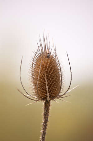 comb: A teasel comb in spring with an insect climbing on it.