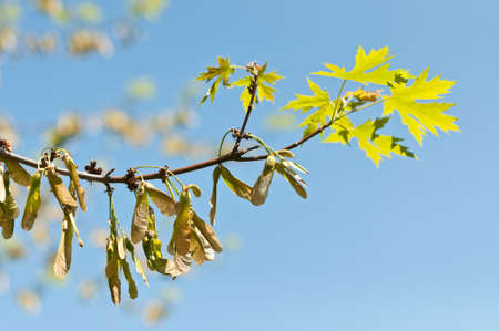 Maple keys (samaras) and leaves grow on a branch in the springtime.