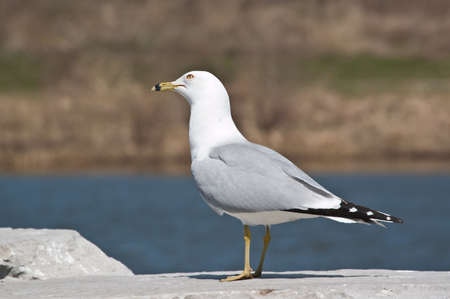 A  Ring-billed gull stands on a rock with a blue pond in the background.