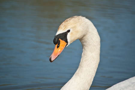 The head and neck of a Mute swan swimming in a blue pond. photo