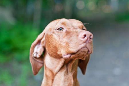 hungarian pointer: A closeup shot of a Vizsla dog (Hungarian Pointer) with shallow depth of field.