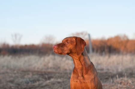 hungarian pointer: A portrait of a sitting Vizsla dog in a field the spring.