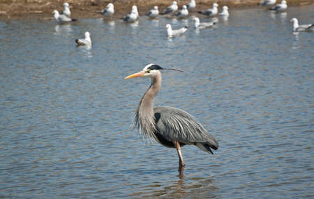 A Great Blue Heron wades in a suburban pond with seagulls in the background. Stock Photo