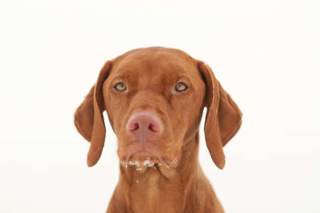 A vizsla dog in winter with some snow on it's chin. White background. Stock Photo - 8593426
