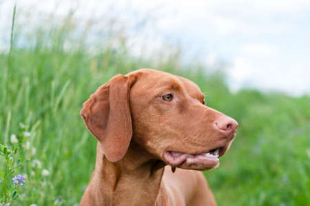 hungarian pointer: A closeup shot of a Vizsla dog (Hungarian Pointer) in a field.