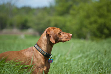 hungarian pointer: A purebred Vizsla dog (Hungarian pointer) stands in a green field in the sprintime.