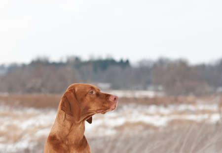 hungarian pointer: A portrait of a Vizsla dog (Hungarian pointer) in profile in a field in winter.