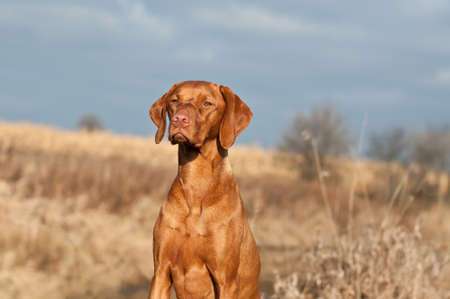 hungarian pointer: A Vizsla dog (Hungarian pointer) sits in a field on an autumn day. Stock Photo
