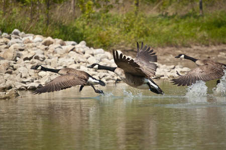 Three Canada Geese (Branta canadensis) take off from a pond. One runs across the surface of the water splashing as it goes. Stock Photo - 8823153