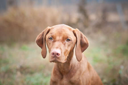 hungarian pointer: A female Hungarian Vizsla dog stares past the photographer while standing in a field in autumn. Stock Photo