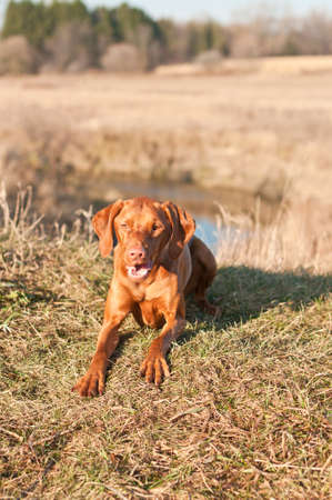 crouches: A Vizsla dog crouches on the grass in a field in autumn.
