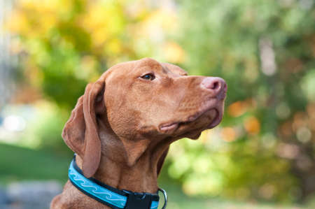 A portrait of a female Vizsla dog with autumn leaves in the background. Stock Photo - 8825489