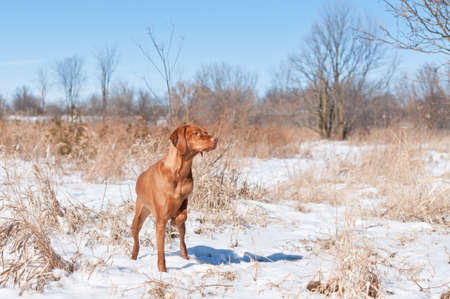 hungarian pointer: A Vizsla dog (Hungarian pointer) points at some birds in a snowy field in the winter. Stock Photo