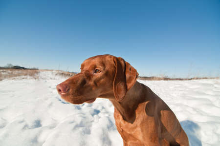 hungarian pointer: A Vizsla dog (Hungarian pointer) sits in a snowy field in winter. Stock Photo
