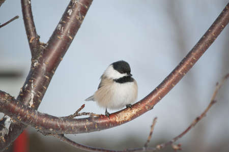 A Black-capped Chickadee perches on a branch in winter in Ontario, Canada. photo