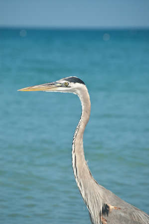 A Great Blue Heron  with blue sky and ocean in the background. photo