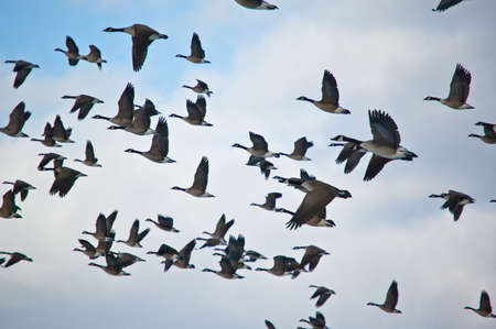 A flock of Canada Geese (Branta canadensis) in flight. Stock Photo