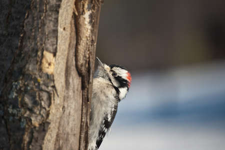 downy woodpecker: A downy woodpecker (Picoides pubescens) feeds on a dead tree trunk in winter. Stock Photo